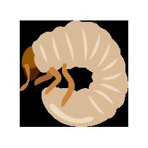 Larvy chrousta