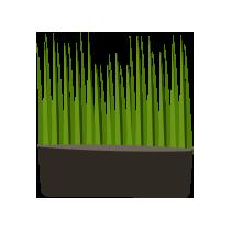 Zelená pšenice