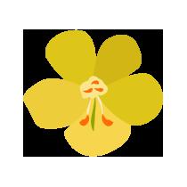 Čaj květ divizny